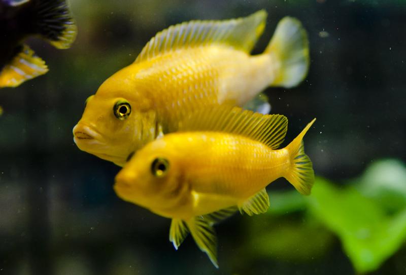Aquarium center dal 1975 a ravenna pesci d 39 acqua dolce for Pesci acqua dolce